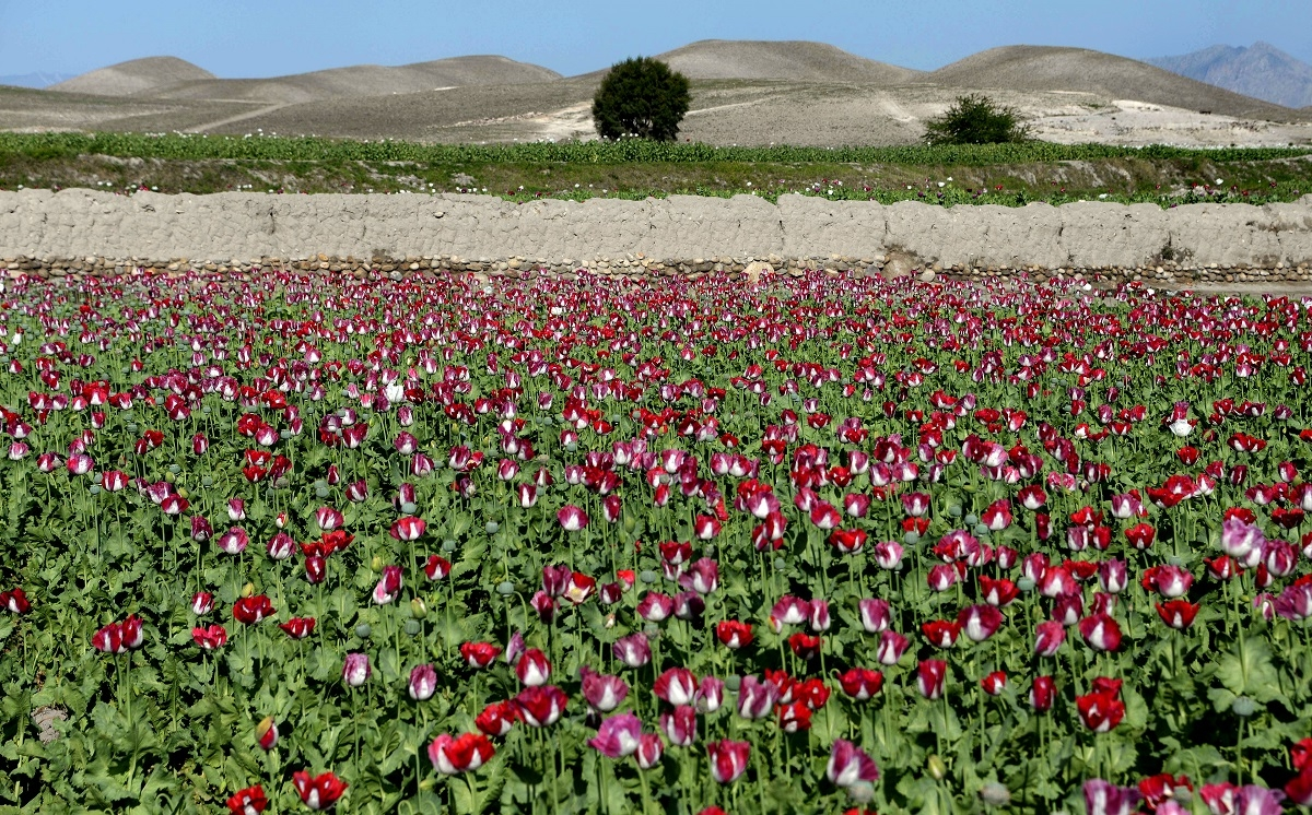 Poppies bloom in a field on the outskirts of Jalalabad, capital of Nangarhar province on April 12, 2014.