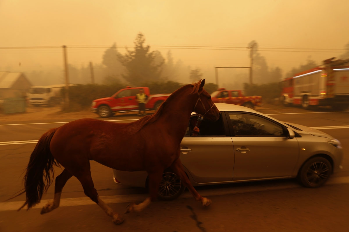 People leave San Ramon in a car taking their horse by the reins after a forest fire devastated the nearby town of Santa Olga, 240 kilometres south of Santiago, on January 26, 2017.