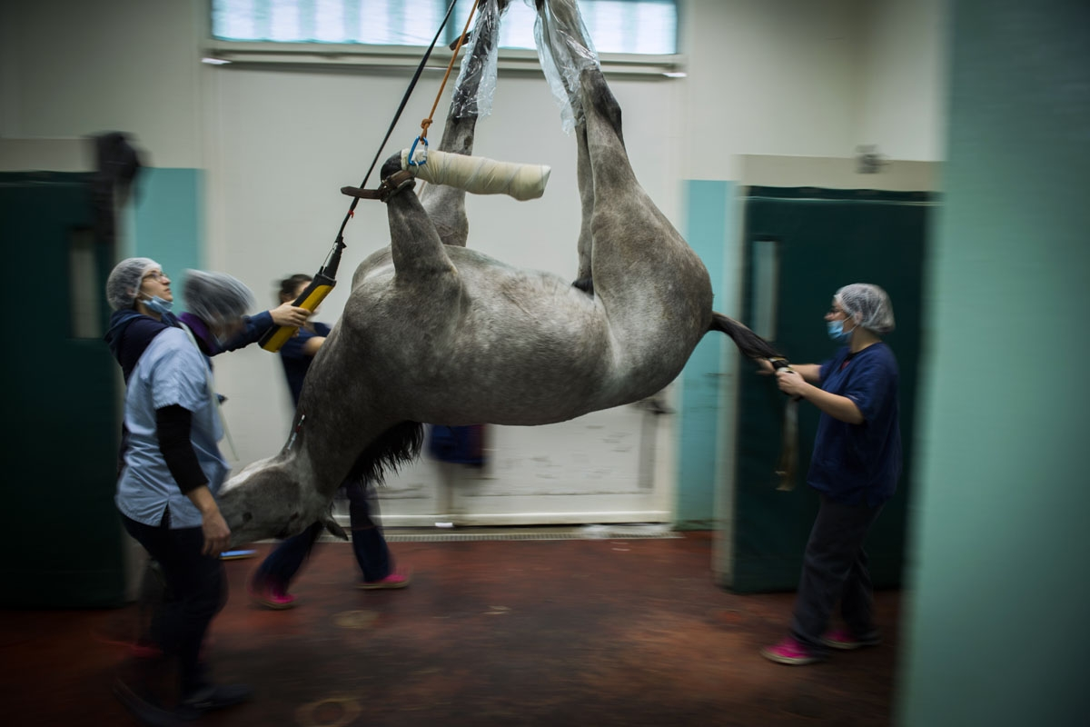 A horse is brought away after surgery at the veterinary clinic of the equestrian training center of Grosbois in Marolles-en-Brie, on November 15, 2016.