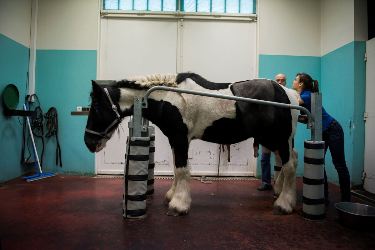 A horse is prepared for surgery at the veterinary clinic of the equestrian training center of Grosbois in Marolles-en-Brie, on November 17, 2016.
