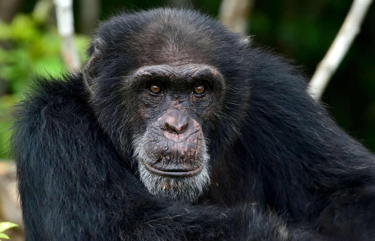 Ponso, the only surviving chimpanzee of a colony of 20 apes, is pictured on Chimpanzee Island near the town of Grand Lahou, Ivory Coast, on August 18, 2017