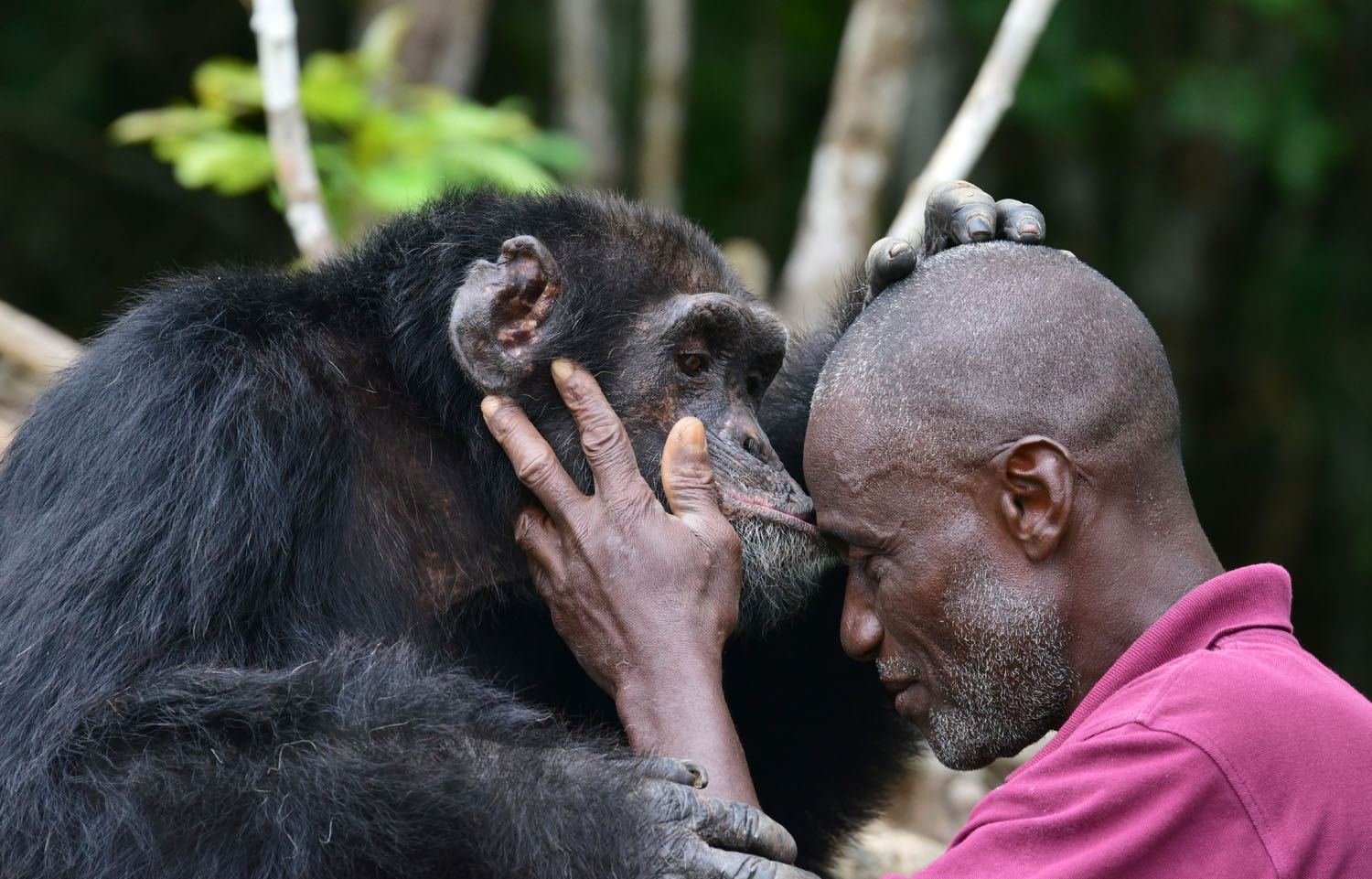 Germain Djenemaya Koidja, a carer paid for by the association Les Amis de Ponso (Friends of Ponso), interacts with Ponso, the only surviving chimpanzee of a colony of 20 apes, on Chimpanzee Island near the town of Grand Lahou, Ivory C