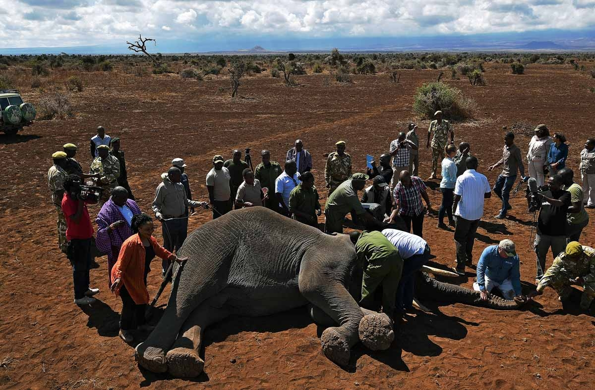 Vets collar an elephant after it was darted with a tranquilizer outside Amboseli National Park on November 2, 2016.