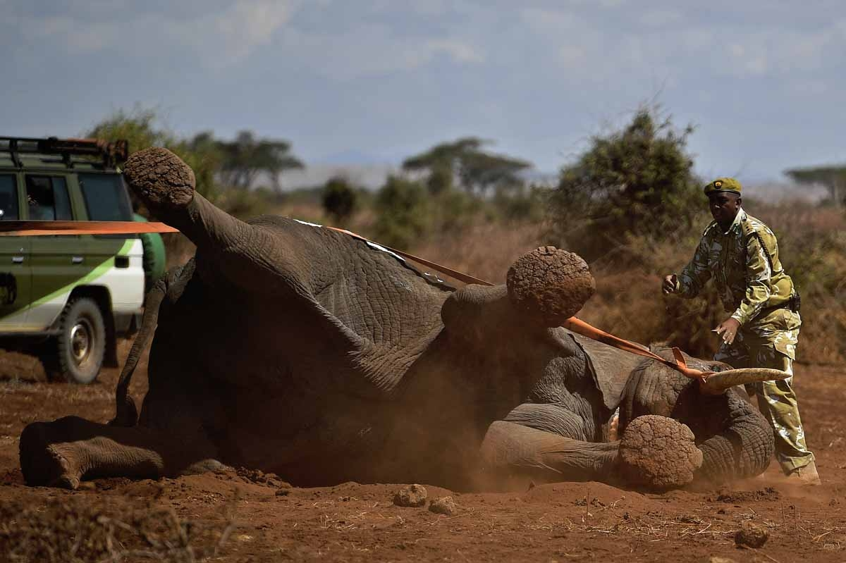 An elephant wearing a fitted electronic collar begins to wake up as its tranquilizer is reversed by vets at the Amboseli National Park on November 2, 2016.