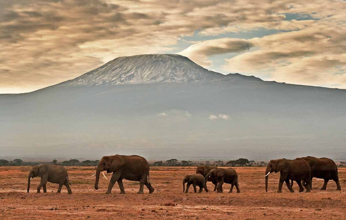 A herd of elephants walk in front of Mount Kilimanjaro in Amboseli National Park on November 3, 2016.  / AFP PHOTO / CARL DE SOUZA