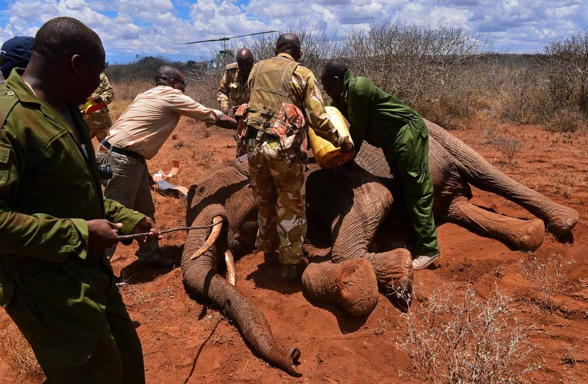 A ground crew take data and fit a tracking collar to a wild elephant after it was darted by a Kenya Wildlife Services (KWS) vet in Amboseli national park, Kenya on March 14, 2013.