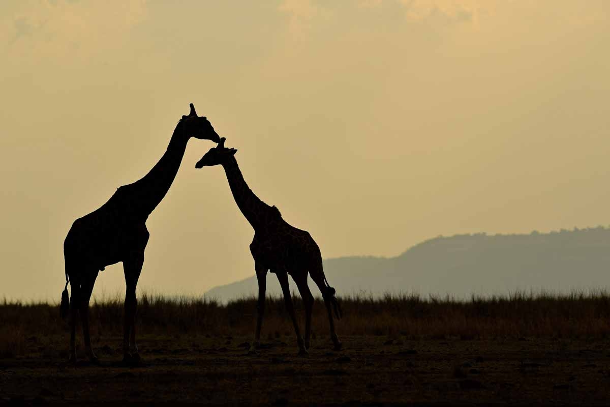 Giraffes stand together during the annual wildebeest migration in the Masai Mara game reserve on September 12, 2016. / AFP PHOTO / CARL DE SOUZA