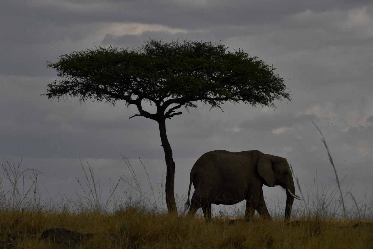 An elephant walks past a tree during the annual wildebeest migration in the Masai Mara game reserve on September 12, 2016.