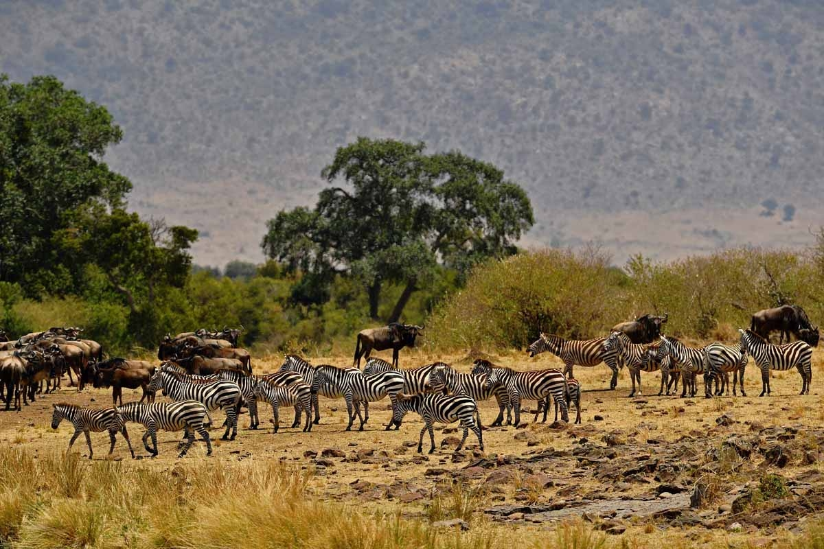 Zebra gather during the annual wildebeest migration in the Masai Mara game reserve on September 12, 2016.
