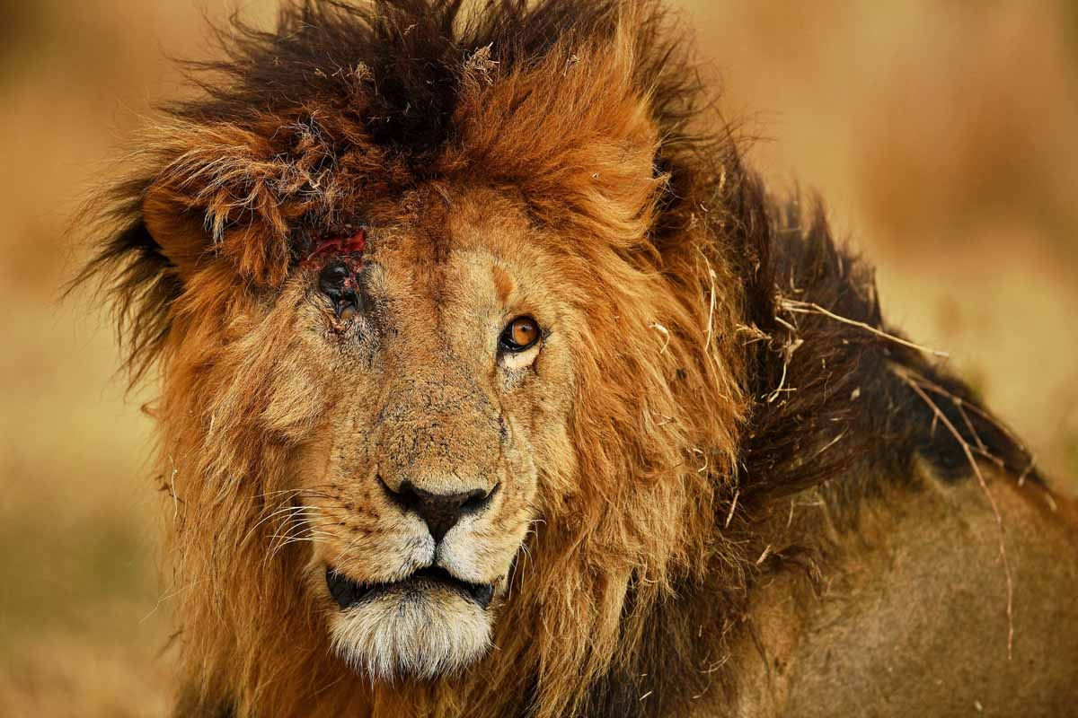 A male lion injured from a fight with another male during the annual wildebeest migration in the Masai Mara game reserve is seen on September 12, 2016.