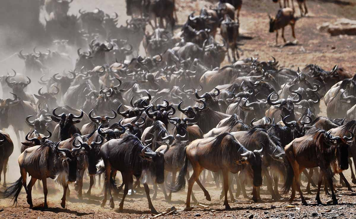 A wildebeest herd is pictured on September 13, 2016 during the annual wildebeest migration in the Masai Mara game reserve.