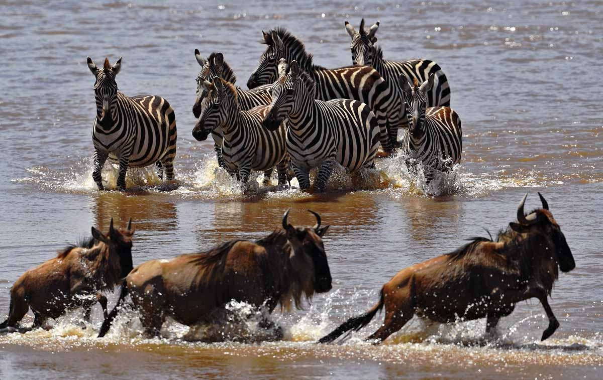 Zebras walk towards crossing wildebeest in the Mara river during the annual wildebeest migration in the Masai Mara game reserve on September 13, 2016.