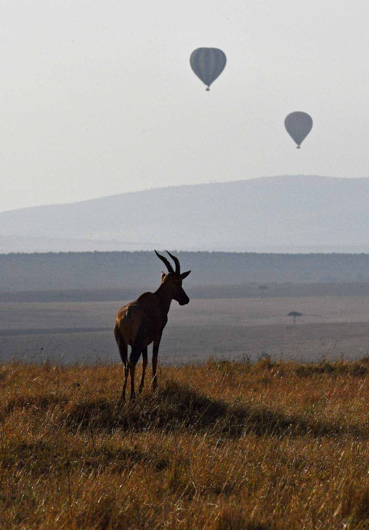 A hartebeest, an African antelope also known as kongoni, is silhouetted during the annual wildebeest migration in the Masai Mara game reserve on September 13, 2016.