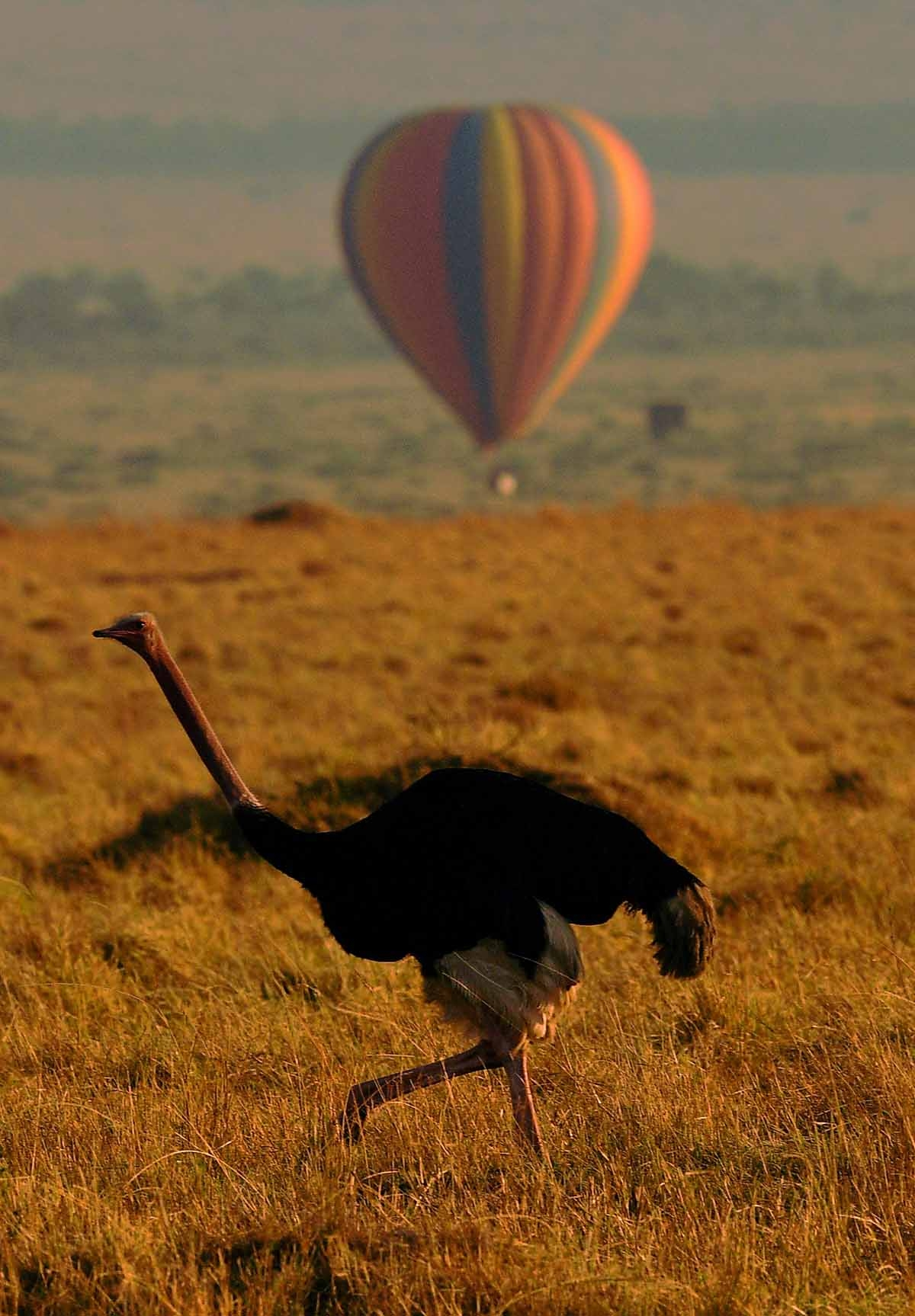 An ostrich walks in front of a hot air balloon carrying tourists during the annual wildebeest migration in the Masai Mara game reserve on September 14, 2016.