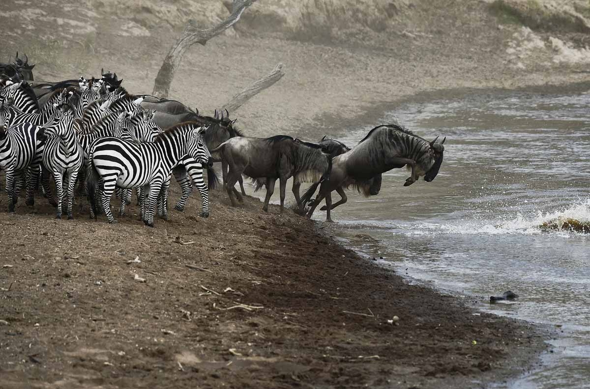 Wildebeests and zebras prepare to cross a river in Masai Mara on September 2, 2015.