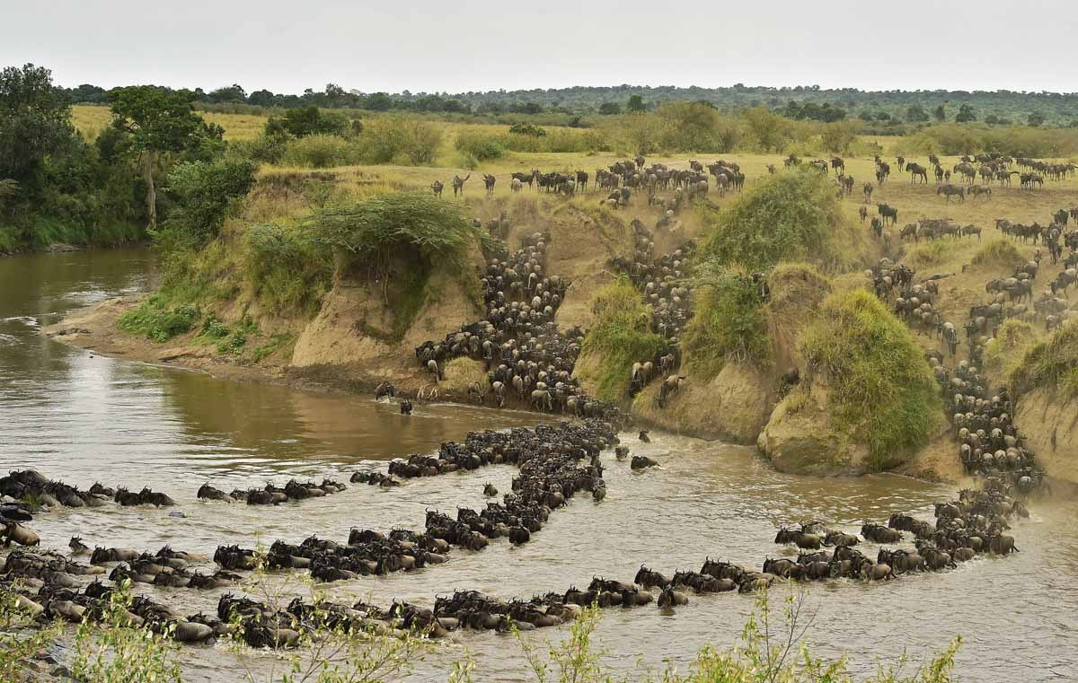 Herds of wildebeest cross the river in Masai Mara on September 4, 2015. Every year hundreds of thousands of wildebeest make the crossing from the Serengeti to Masai Mara game reserve to graze during the migration.