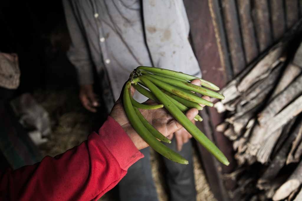 anilla producer 43-year old Patrick Razafiarivo presents green vanilla pods on May 26, 2016 in the municipality of Ambomalaza, Sambava, Madagascar.