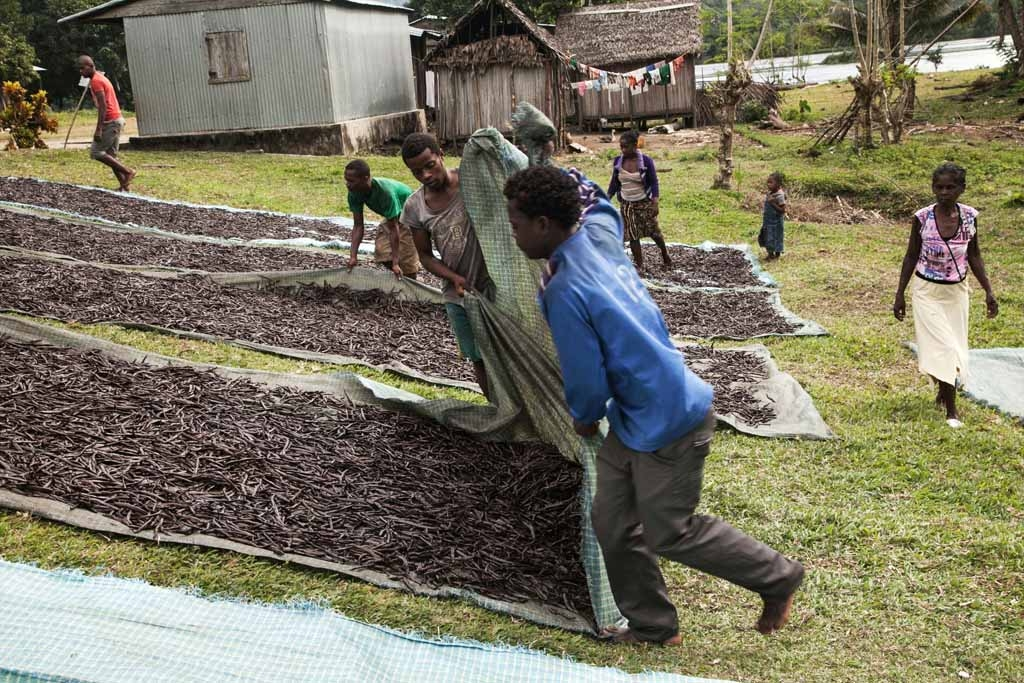Workers spread red vanilla (vanilla which has been treated by a special cooking) in the sun to be dried on May 25, 2016 in the Municipality Bemalamatra, 30 kms from Sambava, Madagascar.