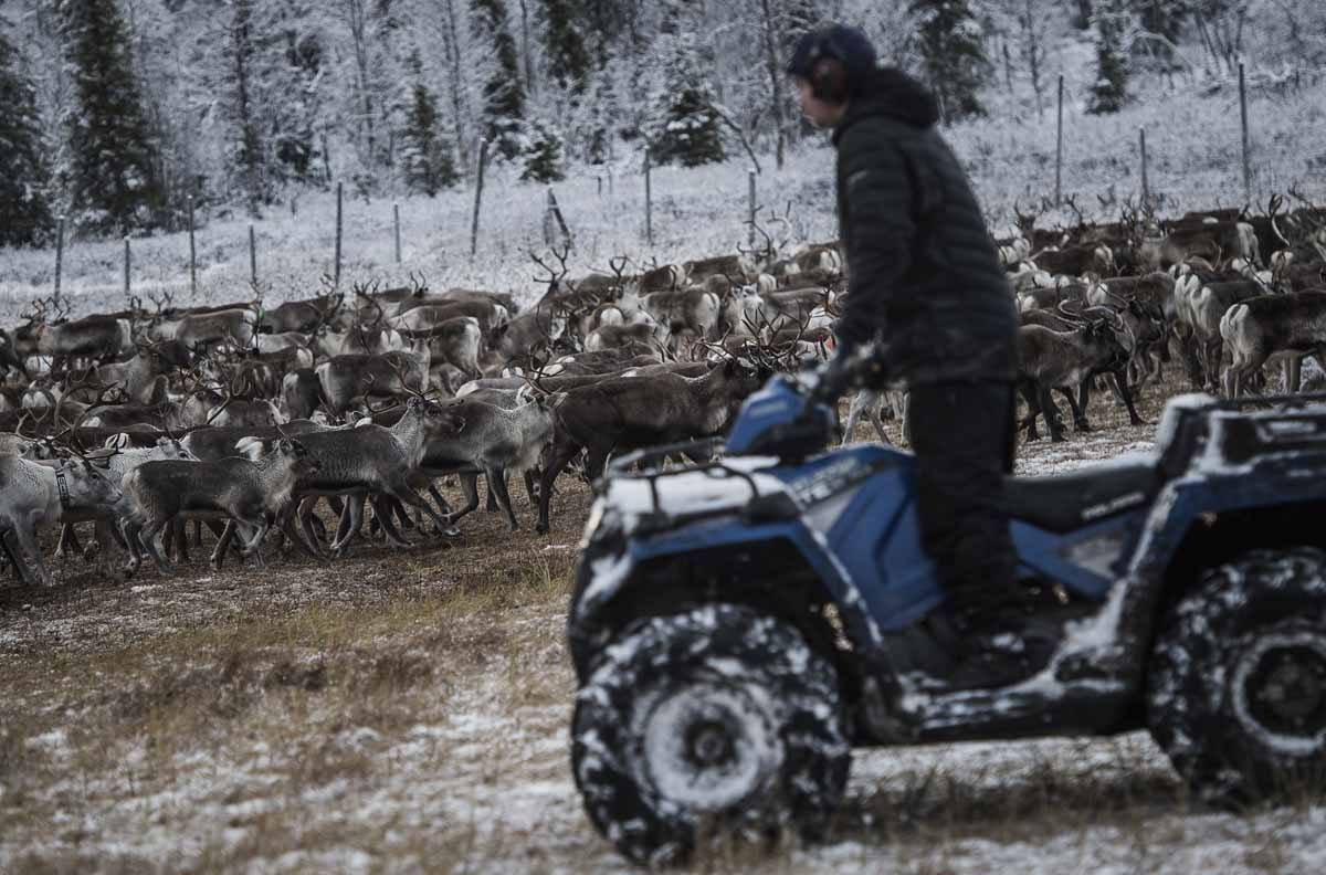 A Sami man from the Vilhelmina Norra Sameby, lead his reindeers herd into a corral for selection and calf labelling on October 27, 2016 near the village of Dikanaess, about 800 kilometers north-west of the capital Sweden.