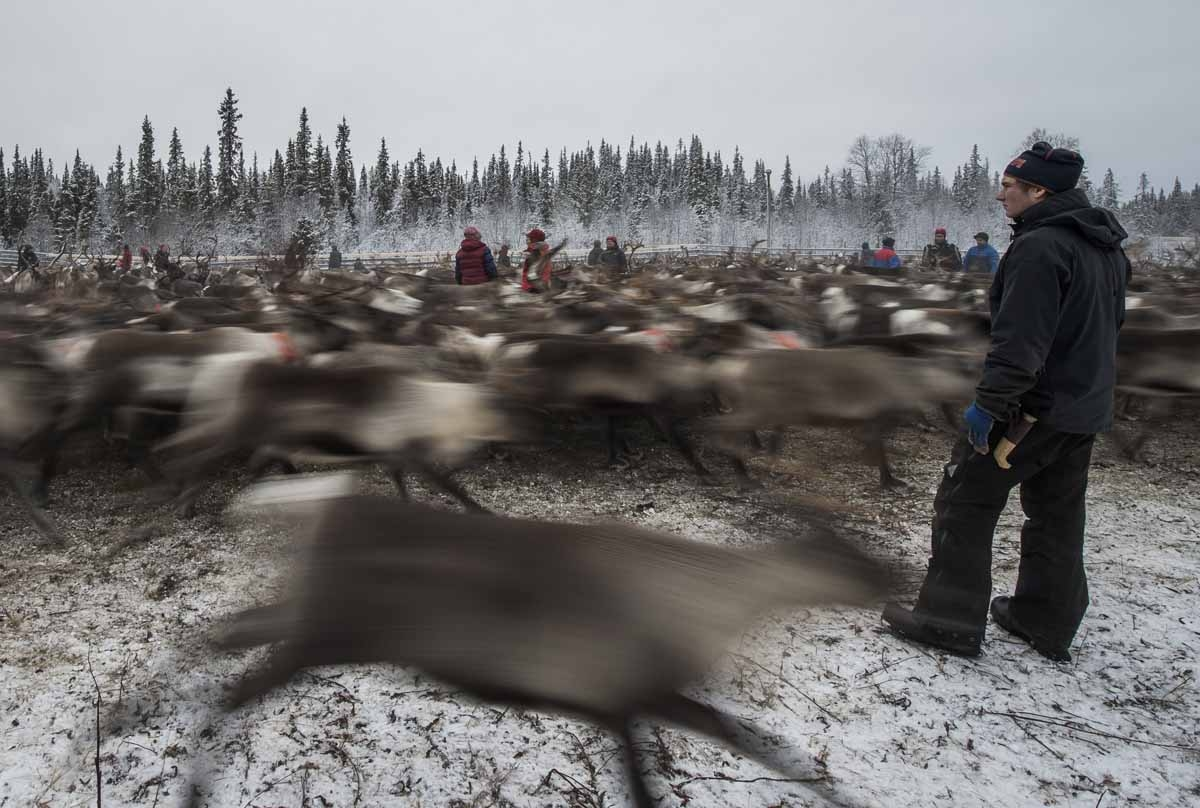 Sami people from the Vilhelmina Norra Sameby, gather their reindeers herd in a corral for selection and calf labelling on October 27, 2016 near the village of Dikanaess, about 800 kilometers north-west of the capital Sweden.
