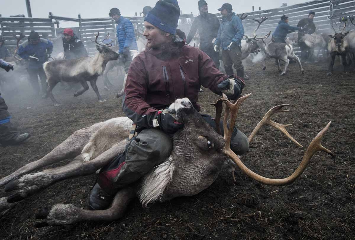 A Sami man from the Vilhelmina Norra Sameby, catches a reindeer during a gathering of his reindeers herd for selection and calf labelling on October 27, 2016 near the village of Dikanaess, about 800 kilometers north-west of the capital Sweden.