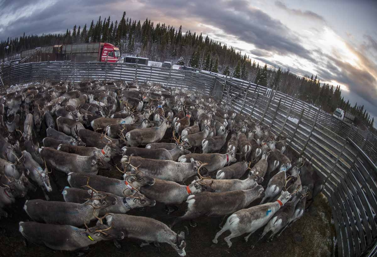 A reindeers herd belonging to the Sami people of Vilhelmina Norra Sameby is gathered in a corral for transportation after a process of selection and calf labelling on October 28, 2016 near the village of Dikanaess, about 800 kilometers north-west of the c