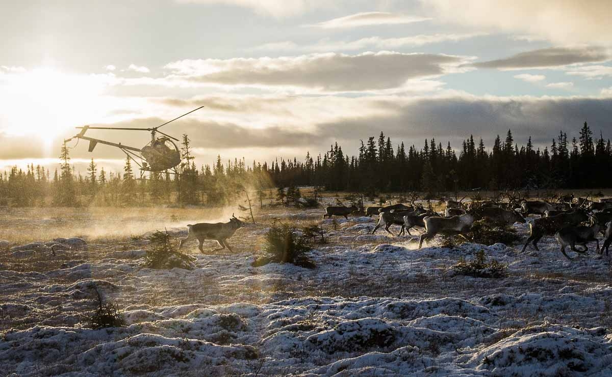 Sami people from the Vilhelmina Norra Sameby fly a helicopter during a reindeer herding on October 28, 2016 near the village of Dikanaess, about 800 kilometers north-west of the capital Sweden.