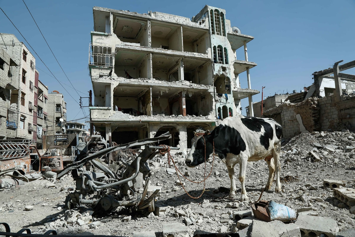 A cow is seen attached to scrap metal near destroyed buildings in Douma, in the rebel enclave of Eastern Ghouta on the outskirts of Damascus on March 12, 2018.