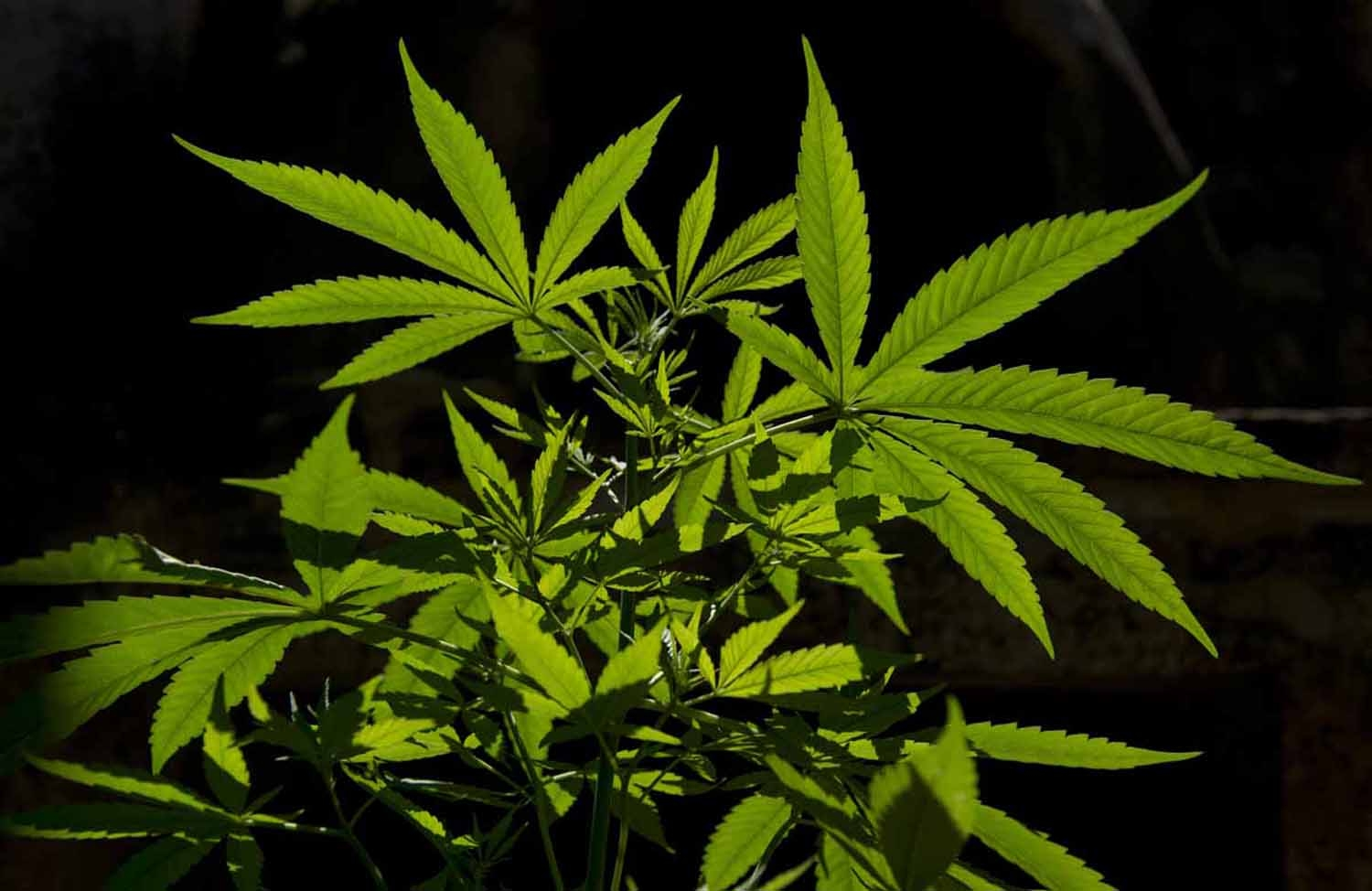 A cannabis sativa plant is seen in Montevideo on December 7, 2012.