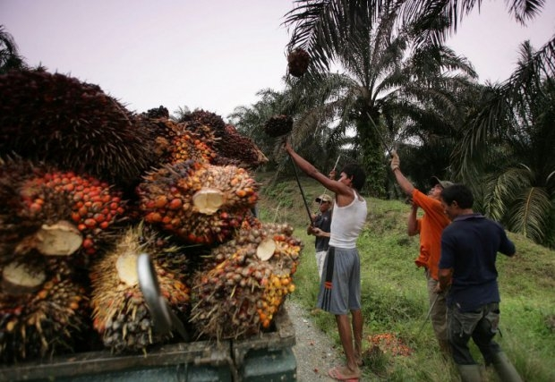 Workers harvest palm oil fruits cut down during a forest restoration program in Aceh Tamiang on September 29, 2014 (AFP Photo / Chaideer Mahyuddin)