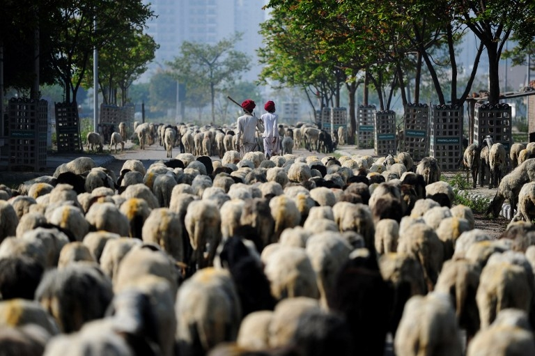 INDIA-SOCIETY-SHEPHERD