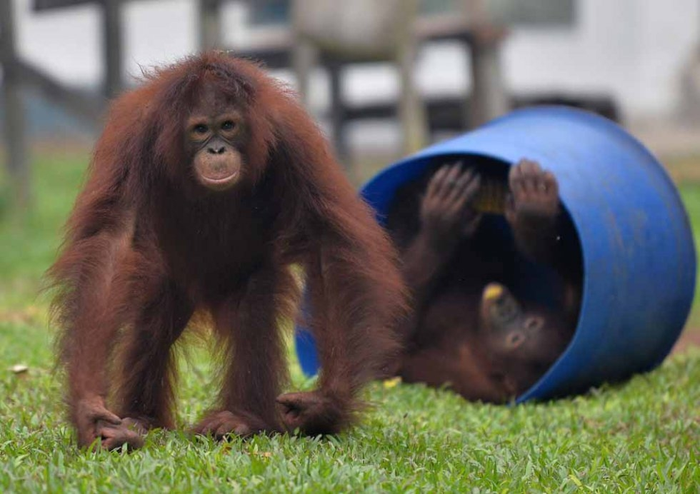 Orangutans play at the rehabilitation centre for the endangered species on the outskirts of Parangkaraya.