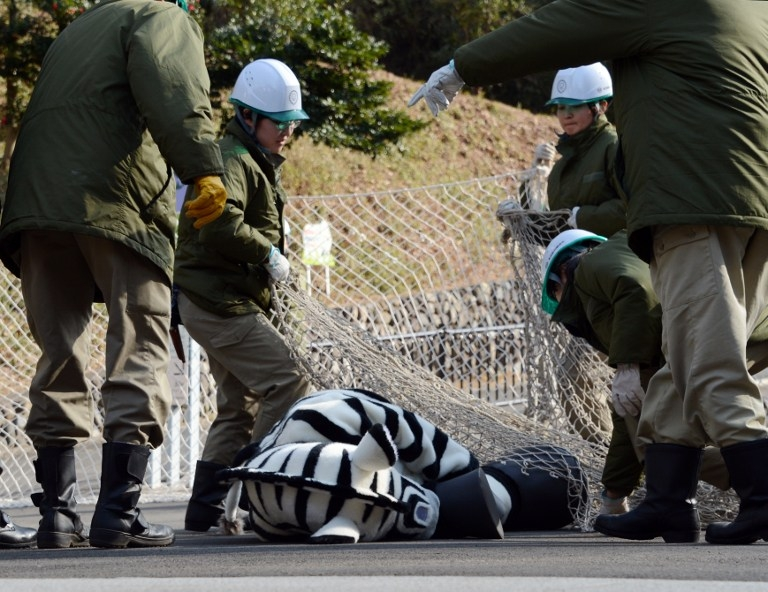Zookeepers ensnare the runaway 'zebra' at Tama zoo on February 1, 2013