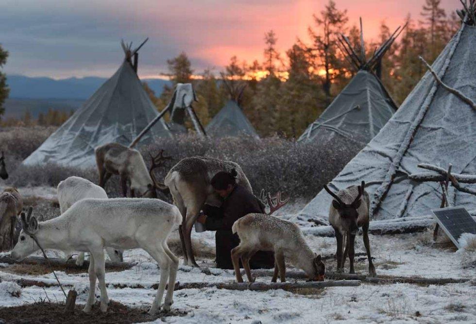 Ganbat Punsul milking reindeer at dawn. (AFP/Greg Baker personal collection)