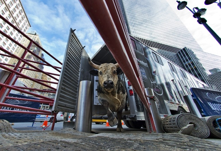 Bull 'Kiss Psycho Circus' exits a truck for weigh-in outside the Madison Square Garden arena in New York on January 15, 2015