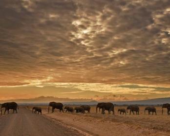 A herd of elephants walk in Amboseli National Park on November 3, 2016.  / AFP PHOTO / CARL DE SOUZA