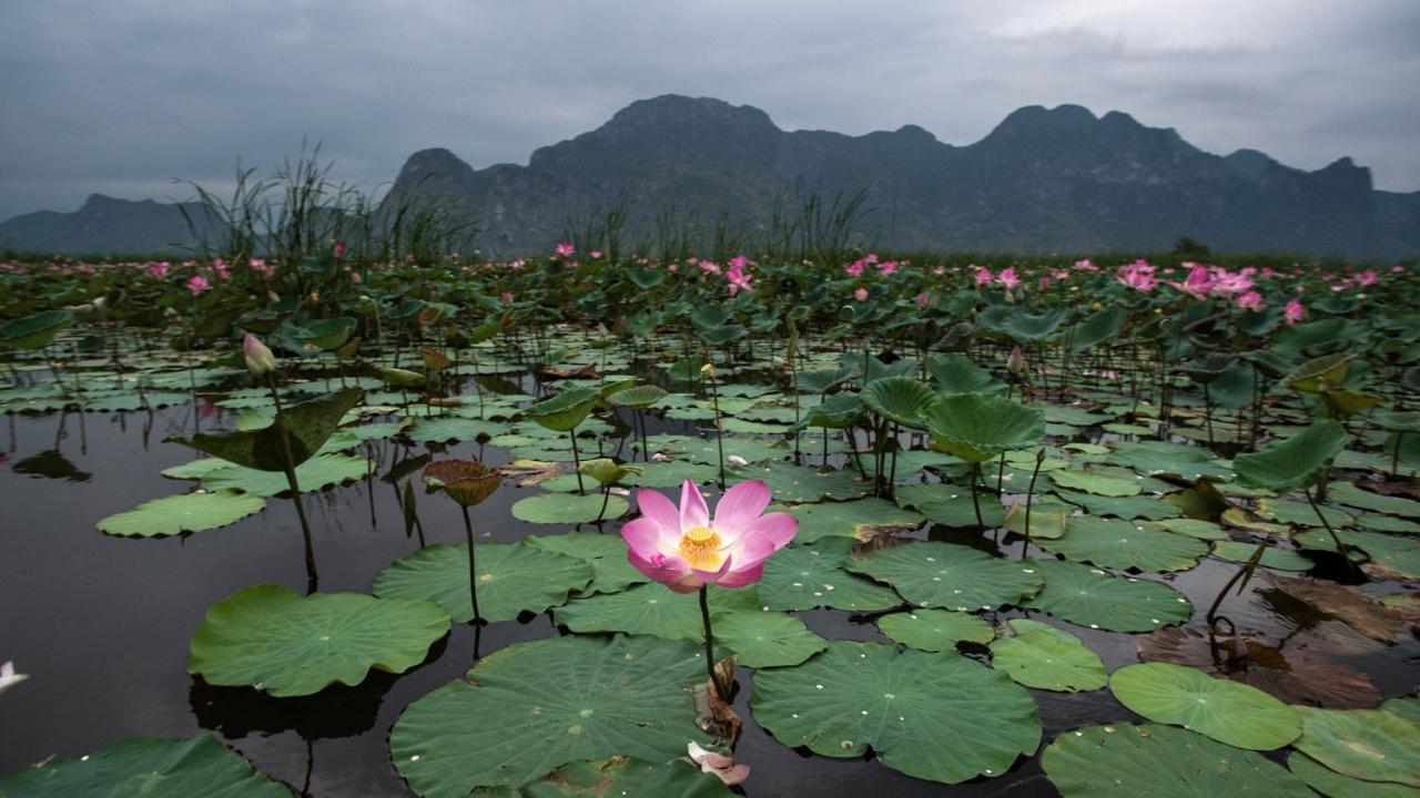 The Sacred Lotus Correspondent